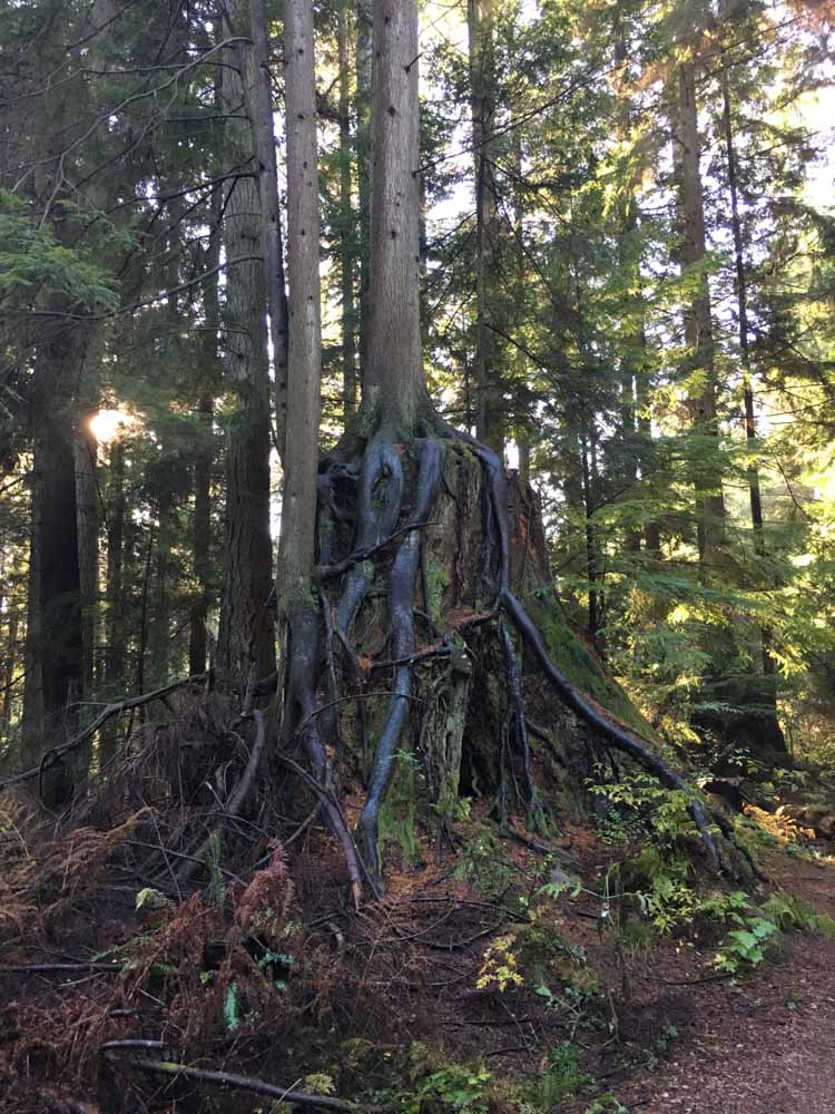 Small cedar tree growing on a larger stump
