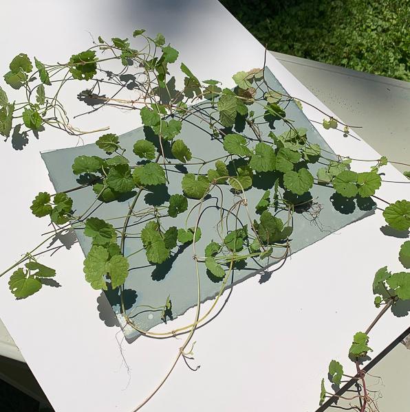 Printing-weeds-cyanotype-photogram-creeping-charlie-elizabeth-busey